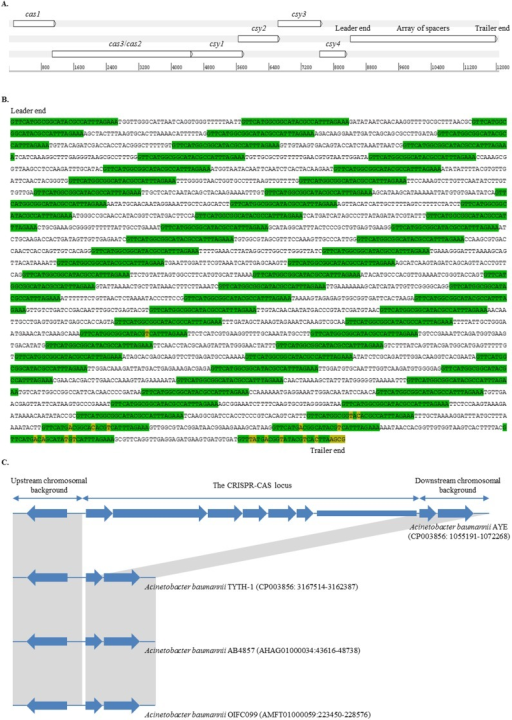 Genetic structure of the CRISPR-cas subtype I-Fb locus in Acinetobacter baumannii.A) The CRISPR-cas subtype I-Fb locus in A. baumannii strain AYE (GenBank accession number: CU459141, located at position 1,057,691 to 1,069,768). The locus consisted of two CRISPR–associated genes (cas1 and cas3/cas2), four Cas system-associated genes (csy1, csy2, csy3, and csy4), and an array of spacers. The map was created using Artemis (http://www.sanger.ac.uk/resources/software/artemis/). B) Nucleotide sequence of the array of spacers in A. baumannii strain AYE. The array included 59 spacers surrounded by 60 direct repeats (marked in green). Some repeats, mainly at the trailer end of the array, included degenerated nucleotides (marked in yellow). C) Comparative analysis of the genetic surroundings. The comparison was performed between the locus-positive strain AYE which belonged to sequence type (ST1) and the locus-negative strains TYTH-1, AB4857, and OIFC099 which belonged to ST2, ST3, and ST32, respectively. Homologous sequences shared by all the isolates were indicated by gray zones.