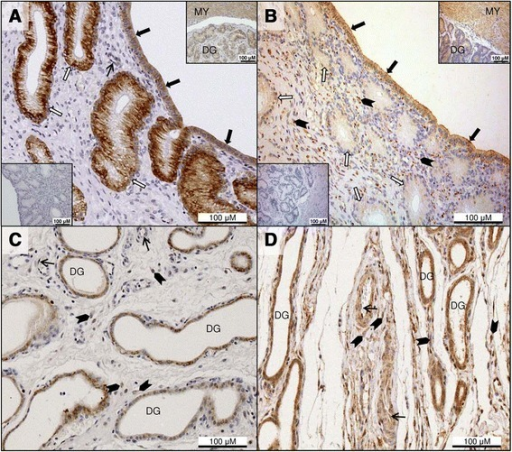 Immunohistochemical detection of leptin and leptin receptor in the pre-implantation uterus and inter-placental sections during pregnancy. Immunohistochemical localization of leptin (Lep; A, C) and leptin receptor (LepR; B, D) in pre-implantation and inter-placental uterine sections (Ut) during pregnancy. (A) Lep immunostaining at pre-implantation is present in the luminal epithelium (solid arrows) and in the superficial glands (open arrows); endothelial cells stain occasionally (thin arrow). The myometrium and deep uterine glands also show positive reaction for Lep (inset upper right); inset (lower left) indicates the isotype control for Lep. (B) LepR immunoreactivity in the Ut at pre-implantation is noted in the surface epithelium (solid arrows), and in the endometrial stroma close to the lumen (solid arrowheads). Superficial glands (open arrows) stain weakly, and the myometrium and deep uterine glands also show positive signals (inset upper right); inset (lower left) shows the isotype control for LepR. (C) Strong Lep staining is visible in the deep uterine glands at mid-gestation; stromal signals are also evident (solid arrowheads), while endothelial cells show sporadic, weak signals (thin arrows). (D) At mid-gestation, the epithelium of deep uterine glands has stronger LepR immunoreactivity than at pre-implantation. Stromal signals are still present (solid arrowheads), and signals are also found occasionally in the endothelium (thin arrows). DG: deep uterine glands, MY: myometrium.