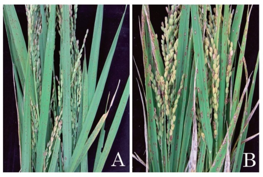 Brown spot lesions observed in the Mie paddy field in 2012. The images were taken 109 days after transplanting. (A) Resistant variety 'Tadukan', (B) Susceptible variety 'Hinohikari'.