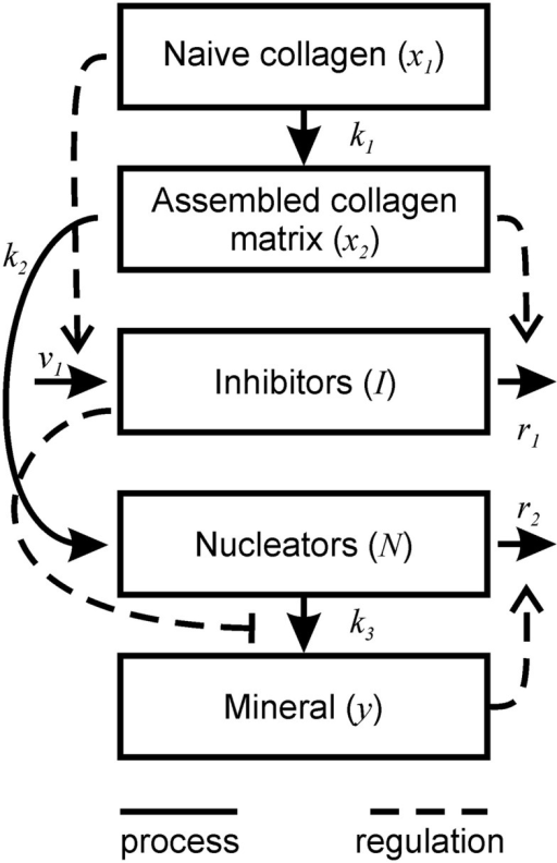 Schematic representation of bone mineralization described by the model. Thick lines represent the processes occurring during mineralization. Dotted lines represent the regulatory effects of different components on the mineralization process.