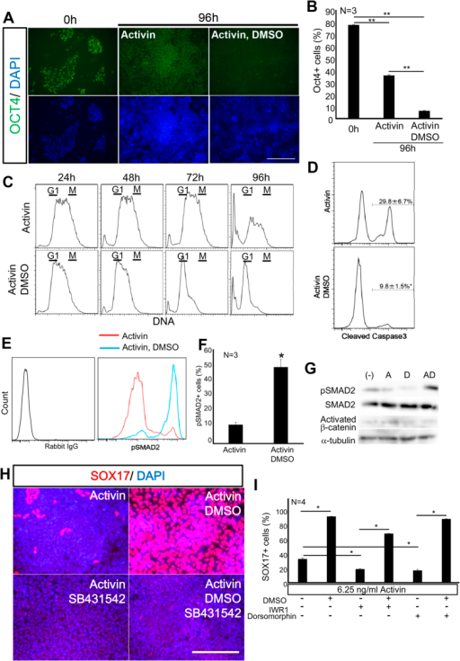 DMSO promoted a low dose Activin-mediated decrease in Oct4 expression and apoptosis, and increased the G1 population and SMAD2 phosphorylation.The molecular mechanism underlying DMSO potentiation of low dose (6.25 ng/ml) Activin-induced DE differentiation was analysed. (A,B) DMSO decreased the proportion of OCT4-expressing cells induced by Activin at low dose, as analysed by immunocytochemistry. (C) DMSO arrested the cell cycle and decreased cell death, as revealed by flow cytometry to measure DNA quantities using DyeCycle. (D) Flow cytometric analysis of cleaved caspase3 revealed that DMSO inhibited apoptosis, triggered by a low dose of Activin. (E,F) Flow cytometric analysis of phosphorylated SMAD2. DMSO promoted SMAD2 phosphorylation, induced by a low dose Activin. (G) Western blot analysis. DMSO increased pSMAD2 in cells induced by Activin at a low dose. However, Activated β-catenin was unchanged. (H) Suppression of Activin signalling by SB231542 completely inhibited DE differentiation by DMSO, as shown by immunocytochemistry. (I) Wnt and BMP signalling were not required for DE differentiation by DMSO, as revealed by immuncytochemical analysis of SOX17. Scale bar; 50 μm.