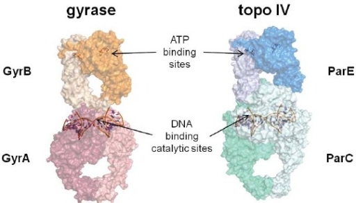 "Models for bacterial Type II topoisomerase tetramers: DNA gyrase (left) and topoisomerase IV (right). The arrows show the relative locations of the ATP binding sites in GyrB and ParE and the DNA cleavage/ligation catalytic sites in GyrA and ParC which are shown binding the so-called ""gateway"" segment of DNA. Each monomer within the two tetramers is defined by a different color or shade of color. The models were constructed with S. pneumoniae ParC (PDB code 4I3H)[91]. E. coli ParE (1S16)[100], C. psychrerythraea 34H GyrA (3LPX), and E. coli GyrB (1EI1)[101] using the X-ray crystal structure of the complete tetramer from S. cerevisiae (4GFH)[102] as a template."