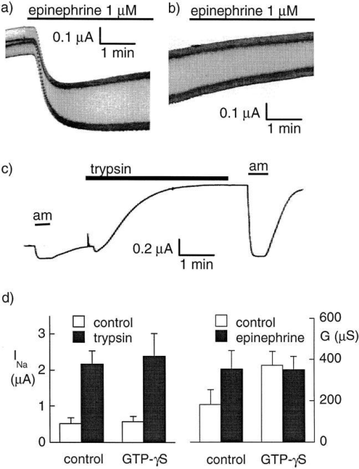 Effect of G protein stimulation with  GTP-γS. (a) Original current recording showing  the effect of 1 μM epinephrine on the conductance of an oocyte expressing the β-adrenergic receptor and CFTR. The holding potential was alternating between −40 and −60 mV with a 1 Hz  frequency. (b) The same protocol was applied to  an oocyte injected 13 min before with 50 nl of a  1.8-mM GTP-γS solution. (c) Effect of trypsin (2  μg/ml for 3.5 min) on the amiloride-sensitive  Na+ current (INa) at −100 mV after intracellular  injection with GTP-γS (50 nl, 1.8 mM). (d) The effect of a 3-min trypsin treatment (left) on INa (before trypsin, white bars; after trypsin, black bars) in  oocytes expressing αβγXENaC. Nine oocytes  were injected with GTP-γS, and seven control oocytes were noninjected. The effect of trypsin was  not affected by previous GTP-γS intracellular injection. (right) The whole oocyte conductance in  oocytes expressing CFTR and the β2-adrenergic  receptor before (open bars) and after (filled bars)  stimulation with 1 μM epinephrine. In control oocytes (n = 11) (i.e., without previous GTP-γS injection), epinephrine induced an increase of the  whole oocyte conductance (P < 0.005, paired t  test). Intracellular GTP-γS injection (n = 13) increased the oocyte conductance (P < 0.05, unpaired t test) and completely prevented the effect  of epinephrine.