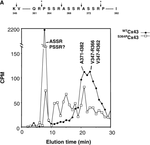 S364 of Cx43 is phosphorylated in unstimulated WTCx43/KO fibroblasts. (A) HPLC elution profile for 32P-labeled Cx43 peptides isolated from cells expressing WTCx43 (•) or S364PCx43 (□). The elution position of certain peptides is indicated. Amino acids 346–382 of Cx43 and tryptic cleavage sites are depicted above the profile (arrows). Asterisks denote sites that may only be partially cleaved by trypsin. (B) Autoradiogram depicting in vitro phosphorylation of Cx GST fusion proteins. (Lane 1) Purified GST CTCx56 phosphorylated by PKA. (Lane 2) Purified GST CTCx43 phosphorylated by of PKA. (Lane 3) Purified GST CTCx43 phosphorylated by PKC. (C) Phosphorylation of Cx43 after treatment with 8Br-cAMP. Autoradiogram showing results of two separate experiments in which confluent monolayers of WT fibroblasts (10-3) were loaded with radiolabeled [32P]i in the presence or absence of 8Br-cAMP (Materials and methods). (1 and 3) Untreated. (2 and 4) Treated with 8Br-cAMP.