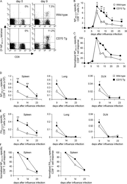 Increased generation of antigen-specific CD8+ T cells in CD70 Tg mice after influenza virus infection. Wild-type and CD70 Tg mice were infected intranasally with influenza virus. (A) Representative FACS® profiles of blood cells collected at day 0 and at day 9 after infection showing H-2Db-NP366-374 tetramer staining versus CD8. Numbers indicate the percentages of H-2Db-NP366-374–specific cells within the CD8+ T cell compartment. No cells were stained with Moloney virus–specific (H-2Db-GagL85-93) tetramers (not depicted). (B) Frequency of H2-Db-NP366-374 tetramer positive cells among CD8+ T cells in blood at the indicated days after influenza virus infection. Data represent mean values and standard error from 10 mice per group. Significance of differences was determined by two-tailed Student's t test (*, P < 0.05; **, P < 0.005). (C) Expansion and contraction of NP366-374-specific CD8+ T cells in blood was normalized to the peak of the response (at day 9). (D) Absolute numbers of NP366-374-specific and (E) PA224-233-specific CD8+ T cells in spleens, DLNs, and lungs 9 d after infection. Data representing the mean and standard error from six mice per group are shown. Significance of differences was determined by two-tailed Student's t test (*, P < 0.05; **, P < 0.005). Both groups of mice showed no difference in kinetics of viral clearance. (F) Contraction of antigen-specific CD8+ T cells in the spleen was normalized to the peak of the response (at day 9).