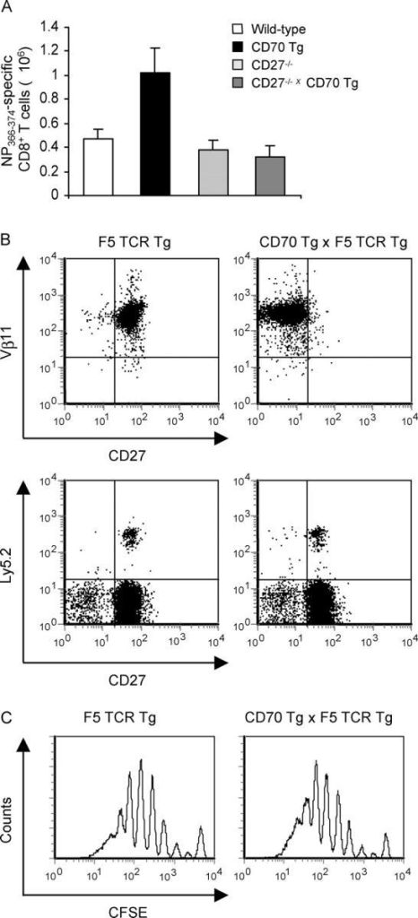 CD70-mediated effects on antigen-specific CD8+ T cell responses require CD27 stimulation during antigen encounter. (A) Wild-type, CD27−/−, CD70 Tg, and CD27−/− × CD70 Tg mice were infected intranasally with influenza virus. At day 9 after infection, spleens were collected, and absolute numbers of NP366-374-specific CD8+ T cells were determined. (B) Reduced CD27 expression on T cells in CD70 Tg × TCR Tg mice requires continuous triggering by CD70. Splenic CD8+ T cells from F5 TCR Tg mice and F5 TCR Tg × CD70 Tg mice were purified and stained with mAbs specific for Vβ11 and CD27 (top). 1 d after adoptive transfer of 4 × 106 purified CD8+ T cells from F5 TCR Tg mice and F5 TCR Tg × CD70 Tg mice into Ly5.1 mice, spleen cells were stained with mAbs specific for CD8, CD27, and Ly5.2 (bottom). Dot plots are gated on CD8+ T cells. (C) Purified CD8+ T cells from F5 TCR Tg mice and F5 TCR Tg × CD70 Tg mice were CFSE-labeled and adoptively transferred into Ly5.1 recipient mice. At 1 d after transfer, mice were infected with influenza virus. 4 d after virus infection, DLN cells were stained with mAbs specific for CD8 and Ly5.2. Flow cytometric histograms of CFSE dilution on CD8 and Ly5.2-positive cells are shown.