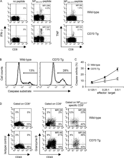 Increased IFN-γ production and cytotoxic activity in CD70 Tg mice. Phenotypic analysis of splenic CD8+ T cells of wild-type and CD70 Tg mice collected 12 d after challenge with 106 EL4-NP tumor cells. (A) Intracellular IFN-γ and TNF-α staining of NP366-374-specific CD8+ T cells. Intracellular IFN-γ and TNF-α levels were measured in spleen cells after 5 h of incubation in the presence or absence of NP366-374 peptide. The percentage and MFI of IFN-γ+ and TNF+ cells within the CD8+ gate are indicated. Background (no peptide) was <0.2%. (B) Cytotoxic activity of NP366-374-specific CD8+ T cells. Target cells (EL4 cells) were fluorescently labeled, pulsed with NP366-374 peptide or unpulsed, and subsequently cocultured with effector cells (NP366-374-specific CD8+ T cells) at different effector to target cell ratios in which effector populations from wild-type and CD70 Tg mice were equalized based on the percentage of NP-specific cells. Killing of target cells was assessed by a flow cytometric CTL assay detecting the induction of caspase activity in target cells. Histograms are gated on EL4 target cells, and the numbers indicate the percentage caspase positive cells. The solid and dotted lines represent peptide-pulsed or unpulsed target cells, respectively. (C) Measurement of cytotoxicity as described in B with different effector to target cell ratios. Data are displayed as mean and standard error (n = 5). (D) Ex vivo intracellular granzyme B staining. CD8+ T cells and NP366-374-specific CD8+ T cells were stained for CD43 and intracellular granzyme B. Gated CD8+ and NP366-374-specific CD8+ T cells are shown. The numbers indicate the percentages of cells within the designated quadrant and are representative of five mice.