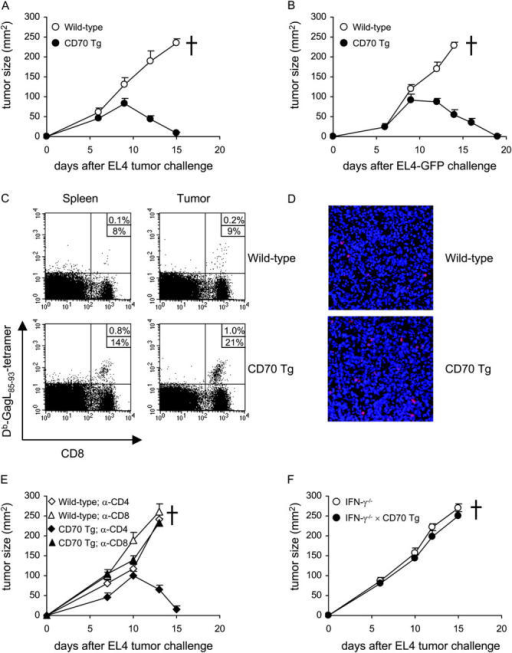 CD8+ T cell– and IFN-γ–dependent tumor rejection in CD70 Tg mice. Mice were challenged subcutaneously with 106 EL4 or EL4-GFP tumor cells. Tumors were measured, and mice were killed when tumors reached diameters of >15 mm. (A) EL4 and (B) EL4-GFP tumor rejection in CD70 Tg mice. Tumor size of wild-type and CD70 Tg mice was measured at the indicated days after tumor challenge. Data represent mean values and standard error of eight mice per group. (C) Increased frequencies of CD8+ T cells and tumor specific-CD8+ T cells in spleen and tumors after EL4-GFP challenge as determined using anti-CD8 mAbs and H-2Db-GagL85-93 tetramers at day 9 after tumor challenge. (D) CD8+ T cell infiltrates (red) in EL4-GFP tumors (blue) from wild-type and CD70 Tg mice at day 9 after tumor challenge as determined by immunohistochemistry. (E) CD8+ T cells are critically involved in EL4 tumor rejection in CD70 Tg mice. Tumor size was measured at the indicated days after EL4 tumor challenge in mice treated with either anti-CD4 or anti-CD8 mAbs. Data represent mean values and standard error from five mice per group. (F) IFN-γ is critically involved in EL4 tumor rejection in CD70 Tg mice. Tumor size of IFN-γ−/− and IFN-γ−/− × CD70 Tg mice was measured at the indicated days after tumor challenge. Data represent mean and standard error from five mice per group.