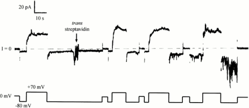 The effect of trans streptavidin on a longer carboxy-terminal fragment with a biotin attached near the amino terminus. Before the start of the record, 240 ng of biotinylated mutant 326C/CT-L (with an amino-terminal His-tag) were added to the cis compartment. The conductance turned on at +70 mV and off at −80 mV. At the arrow, 20 μg of streptavidin were added to the trans compartment. This produced an inhibition of turn off at negative voltage, with the development of a noisy conductance. This shows that the amino-terminal biotin of this long fragment was accessible to trans streptavidin. The solution on both sides of the membrane was 100 mM KCl, 5 mM CaCl2, 1 mM EDTA, 20 mM HEPES, pH 7.2. The record was filtered at 30 Hz.