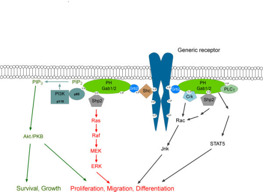 Recruitment of Gab proteins to activated receptors and the main effector arms of Gab signalling. The indirect mode of recruitment applies to all receptors except c-Met (see text and Fig. 3 for details). Characteristics of this mechanism are that phosphotyrosine residues within the cytoplasmic tails of activated surface receptors serve as docking sites for the SH2 domain of Grb2, which in turn binds via its C-terminal SH3 domain to specific binding sites in Gab1-3. Alternatively, Shc can serve as additional bridging molecules between Gab and activated receptors. Membrane/receptor association leads to tyrosine phosphorylation of Gab proteins and subsequent recruitment of SH2 domain-containing effectors such as SHP2, p85, PLCγ and Crk. While it has been shown by numerous studies that the association between Gab proteins and the effectors Shp2, p85, Grb2, Crk and PLCγ represents a direct protein-protein interaction, the coupling between Gab and STAT5 needs to be resolved in the future.