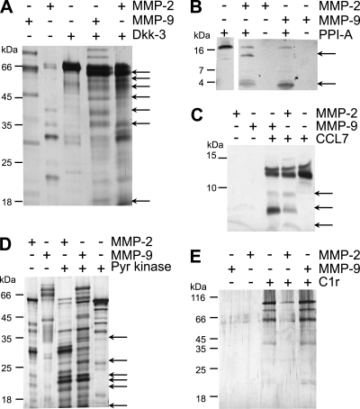 Biochemical validation of MMP-2 and MMP-9 substrates. Recombinant proteins identified by iTRAQ-TAILS as high confidence or potential substrates were incubated for 18 h at 37 °C with MMP-2, MMP-9, or buffer alone, or MMP-2 and MMP-9 were incubated alone. A, digestion products of recombinant human Dkk-3 were separated by 10% SDS-PAGE. Cleavage fragments of recombinant human peptidyl-prolyl cis-trans isomerase A (PPI-A) (B) and CCL7 (C) were separated on 15% Tris-Tricine gels. Digestion products of recombinant pyruvate kinase M1/M2 (D) and human C1r subcomponent A (E) were separated by 10% SDS-PAGE. Digestion products were visualized by silver staining except for peptidyl-prolyl cis-trans isomerase A, which was detected by Western blotting using the corresponding rabbit polyclonal antibody. Arrows indicate major cleavage products. C1r protein was degraded by MMP-2 as shown by loss of the intact protein band. Autolysis of the MMP-2 and MMP-9 proteases during the 18-h assay often occurred and is typical, although the proteases used were purified to single band homogeneity as shown in supplemental Fig. 2. Pyr, pyruvate.