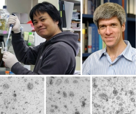 FOCAL POINT Arthit Chairoungdua (left), Michael Caplan (right), and colleagues reveal a new mechanism by which cells downregulate β-catenin protein levels and activity of the Wnt signaling pathway. The tetraspanin proteins CD82 and CD9 promote the incorporation of β-catenin into exosomes—small vesicles that cells release into their environment. Electron microscopy of purified cell culture supernatants reveals that cells overexpressing CD9 (middle) or CD82 (right) produce more exosomes than control cells (left). Exosomal release of β-catenin and inhibition of Wnt signaling may explain why CD82 and CD9 suppress tumor metastasis.