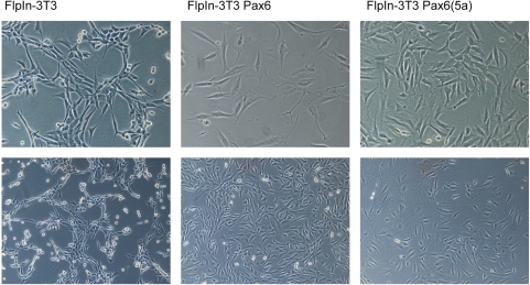 The FlpIn-3T3 Pax6 and FlpIn-3T3 Pax6(5a) cell lines have changed morphology compared to the original FlpIn 3T3 cell line they were generated from.This was repeatedly observed over several passages. Pax6 and Pax6(5a) expressing cells appeared more flattened and seemed to have more protrusions. The cells on the picture have passage numbers 17, 15 and 11 for the FlpIn-3T3, FlpIn-3T3 Pax6 and FlpIn-3T3 Pax6(5a) respectively. For the pictures on the upper row a 20× magnification is used, for the lower row a 10× magnification is used on a Zeizz Axiovert S100 Microscope with a Nikon Digital Sight DS-5 M camera.