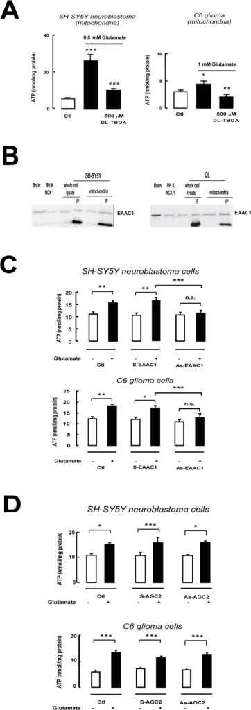 Glutamate-stimulated ATP synthesis in isolated mitochondria from cells.(A) Effects of DL-TBOA on glutamate-stimulated ATP synthesis in mitochondria from SH-SY5Y neuroblastoma and C6 glioma cells. (B) EAAC1 expression in SH-SY5Y neuroblastoma and C6 glioma cell mitochondria. Samples enriched with anti-EAAC1 antibody by selective immunoprecipitation (IP) were also loaded onto the gel. Protein extracts from rat brain and from BHK cells stably expressing NCX1 were used as controls. In each IP lane, the lower band represents the immunoglobulin. (C) Effect of anti-EAAC1 (As-EAAC1) and anti-Citrin/AGC22 (As-AGC2) antisense (D) ODNs, on glutamate-stimulated ATP synthesis in SH-SY5Y neuroblastoma and C6 glioma cells. Data from cells treated with Lipofectamine (Ctl) and sense ODNs (S-EAAC1 and S-AGC2) are also reported. Each bar in panels A, C and D represents the mean ± SEM of 14 different determinations. * p<0.05 vs control; ** p<0.01 vs control; *** p<0.001 vs control; ## p<0.01 vs 0.5 or 1 mM glutamate; ### p<0.001 vs 0.5 or 1 mM glutamate; n.s.: not significant vs control. In ODNs experiments, *** p<0.001 vs S+glutamate.