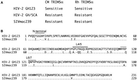 (A)Sensitivities of HIV-2 GH123, HIV-2 GH123 mutant carrying SIVmac239 capsid protein (HIV-2 GH/SCA), and SIVmac239 to cynomolgus (CM) and rhesus (Rh) monkey TRIM5α. The replication of HIV-2 GH123 was potently restricted by CM and Rh TRIM5α (sensitive), while that of SIVmac239 and the HIV-2 GH123 mutant carrying SIVmac239 capsid was not (resistant). (B) Alignment of amino acid sequences of HIV-2 GH123 and SIVmac239 capsid proteins. Positions of the N-terminal loop (N-terminal), a loop between α-helices 4 and 5 (L4/5), and a loop between α-helices 6 and 7 (L6/7) are indicated above the amino acid sequences.