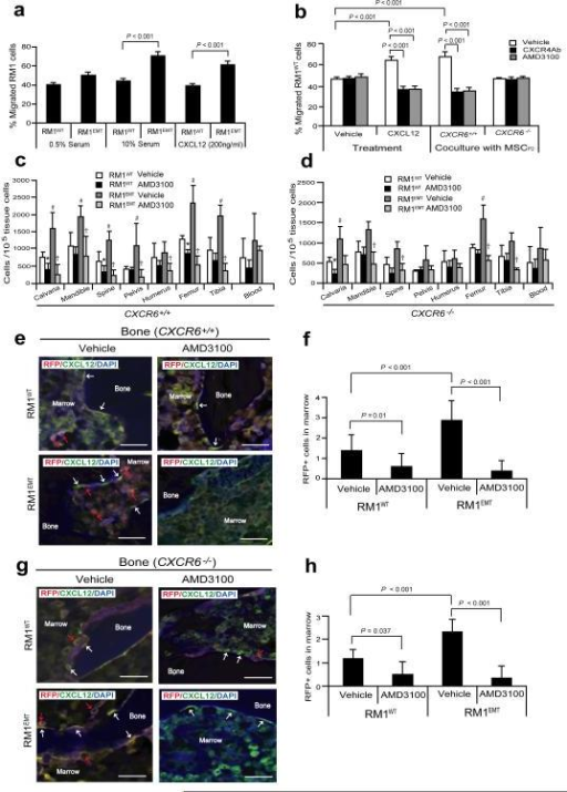 EMT-mediated CXCR4 is highly involved in prostate cancer metastasis(a) Migration assays were performed in Transwell® plates using 10% serum or CXCL12 as chemoattractants. Migration toward 0.5% serum was used as a negative control. (b) Blockade of CXCR4 by AMD3100 or anti-CXCR4 antibody prevents prostate cancer migration towards CXCL12 or MSCs isolated from CXCR6+/+, but not CXCR6−/− animals. Data in (a,b) are representativedata from two independent studies (mean±s.d., ANOVA). Significance was determined using a Student's t-test. RFP-labeled RM1WT or RM1EMT cells (Supplementary Fig. S5a) were incubated with vehicle or AMD3100 in vitro, and then inoculated by intra-cardiac (i.c.) injection into CXCR6+/+ or CXCR6−/− (n = 7). Metastasis was assessed by qPCR for RFP in a number of tissues. (c,d) Number of metastatic RM1 cells following i.c. injection. *Significance between RM1WT treated with vehicle and RM1WT treated with AMD3100 (P < 0.05). #Significance between RM1WT treated with vehicle and RM1EMT cells treated with vehicle (P < 0.05). †Significance between RM1EMT treated with vehicle and RM1EMT treated with AMD3100 (P < 0.05). Error bars represents mean±s.d., n = 2 independent experiments, P < 0.05; Student's t-test. (e-h) RM1 cells expressing RFP were identified in the femur of CXCR6+/+ or CXCR6−/− mice following i.c. injection. Red arrows identify RM1 cells. White arrows identify osteoblast on the bone surface staining positive for CXCL12 expression. Scale bars, 100μm. (f,h) Quantification of Fig. 5e and Fig. 5g, respectively. The numbers of RM1 cells were quantified on the endosteal region of the 7 long bones. Endosteal regions were defined as 12 cell diameters from bone surfaces. ((Mean±s.d. (n = 3)., ANOVA).
