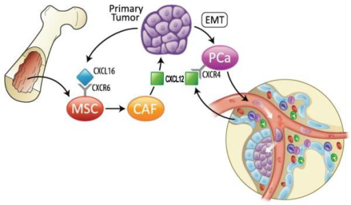Bone marrow-derived MSCs promote prostate cancer growth and metastasisModel showing putative potential mechanisms underlying primary prostate cancer progression by the recruitment of mescenchymal cells (MSCs) and bone metastasis. Secretion of CXCL16 by cancer cells recruits MSCs into tumor sites. Tumor-derived CXCL16 interacts with its receptor, CXCR6 on MSCs and activates signal transduction, leading MSCs to convert into cancer-associated fibroblasts (CAFs), which secrete the high levels of CXCL12. CXCL12 promotes the malignant transformation of proliferating cancer cells to an epithelial-mesenchymal transition (EMT). EMT enhances CXCR4 expression in prostate cancer cells. CXCR4 expression facilitates metastasis.