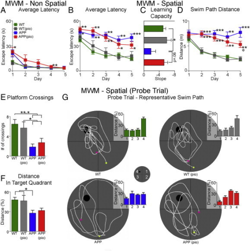 Spatial learning and memory deficits in APP mice. (A) All mice undergoing non-spatial Morris water maze performed equally well at the end of training. (B) In contrast, 6-month-old APP mice () were impaired in the spatial Morris water maze, featuring significantly longer escape latencies in finding the hidden platform relative to WT controls (). Pioglitazone slightly, but not significantly, improved learning performance in treated APP mice (). (C) Compared to WT mice, learning capacity while impaired in APP mice was similar in pioglitazone-treated APP mice. (D) A decrease in the average distance swam per training day was observed in pioglitazone-treated APP mice compared to untreated APP mice, reaching significance on day 5. (E) In the probe trial, the number of crossings was slightly higher in pioglitazone-treated APP mice compared to APP mice, but still significantly different from WT mice. (F) Compared to WT mice, distance travelled in the correct quadrant was significantly lower in APP, but not in pioglitazone-treated APP mice. (G) Representative swim paths ( start,  end) and percent distance travelled in each quadrant. Pioglitazone-treated APP mice showed mild improvement in the swim strategy used to locate the hidden platform. Overall, all groups displayed comparable swim speeds ruling out motor disabilities. Statistical analysis used was a two-way ANOVA. p < .05 compared to APP, p < .05, p < .01, and p < .001 compared to WT. Pioglitazone-treated WT mice (), error bars: SEM, pio: pioglitazone, WT: wild-type.