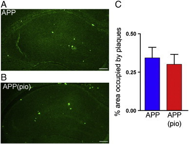 Pioglitazone did not reduce Aβ plaque load in the hippocampus. Qualitatively, the area occupied by thioflavin S-stained mature, dense-core amyloid plaques in the hippocampus of 6-month-old (A) APP mice and (B) pioglitazone-treated APP (APP (pio)) mice were comparable. (C) Quantitatively, pioglitazone-treatment did not reduce amyloid plaque load. Scale bar: 1 mm (4 × zoom), error bars: SEM, pio: pioglitazone.
