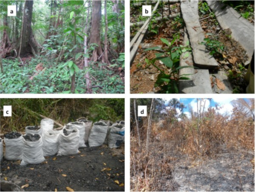 Degradation of riparian forest in the Pepital River watershed inAlcântara, Brazil: a) Intact Forest (photography by D. Celentano), b) Logged tree (Alexandra da Piedade), c) Charcoal production (Ananda Asevedo; and d) Area recently burned for agriculture (Liliane Ribeiro).