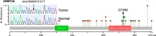 The DNMT3A p.G728D mutation observed in this thymoma sample is visualized in the context of other DNMT3A mutations observed in AML genome sequences from TCGA. The protein sequence and functional domains are depicted on the x axis. The number of AML mutations is depicted on the y axis. Red circles correspond to truncating mutations. Green circles correspond to missense mutations. Circle height corresponds to the number of mutations per position, however, the G728D indicator (black) is only meant to indicate position of this mutation. Note the clustering of AML nonsynonymous mutations around position 728. Mutations in this region reduce DNMT3A activity by disrupting the interaction between DNMT3L and DNMT3A. The Sanger sequencing validation trace of p.G7238D is also shown, demonstrating validation of p.G7238D as a homozygous somatic mutation.