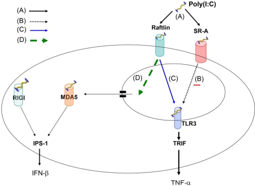 Hypothesized TLR3 RNA-sensing system.(A) Extracellular dsRNA binds SR-A or raftlin on cell surface and enters via endocytosis. (B) SR-A communicates a negative signal to endosomal TLR3, which binds dsRNA and induces TNF-α production via TRIF. (C) Raftlin communicates a positive signal to endosomal TLR3, which binds dsRNA and induces TNF-α production via TRIF. (D) dsRNA escapes the endosome and is detected in the cytoplasm by MDA5 and/or RIG-I, which induces IFN-β production via IPS-1 without TLR3 signaling.