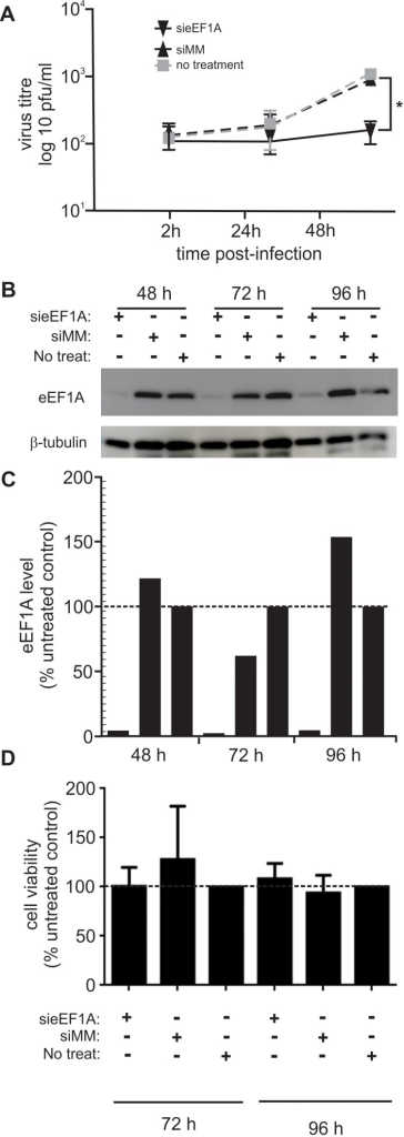 Down-regulation of eEF1A reduces the amount of infectious virus released from RSV-infected cells.HEK293T cells were transfected with sieEF1A, or a non-specific control siRNA (siMM), 48 h prior to infection with RSV A2 at a MOI of 0.1 pfu/cell. Infectious virus released from the cells into the culture supernatant was quantified by immune-plaque assay using Hep-2a cells exposed to culture supernatants, then overlayed with methyl cellulose and incubated at 37°C for 6 days. RSV-positive plaques were detected using antisera to RSV. (A) The amount of infectious virus released by cells in which eEF1A had been down-regulated was significantly reduced 48 h post-infection, compared to cells that had been transfected with the siMM control or untreated. (B) Down-regulation of eEF1A>90% by sieEF1A and not the siMM control was confirmed by western blot analysis of cell lysates at the time of infection, which was 48 h after transfection and also for the 24 h and 48 h following RSV infection (72 h and 96 h post-transfection). Beta-Tubulin was used as a loading control. (C) A digitized western blot in (B) was analyzed using ImageJ software. The eEF1A level (average pixel intensity) in each lane was normalized to the corresponding level of β-tubulin in the same lane. For each time point, the amount of eEF1A detected in untreated control samples was designated as 100%. (D) HEK293T cells transfected with either sieEF1A or siMM, remained viable compared to untreated cells 72 h and 96 h post-transfection. The average cell viability compared with an uninfected control was calculated. siRNA experiments were repeated three times with similar results. Mean values, with SEM are shown. Significance identified using paired t-test. *P<0.05