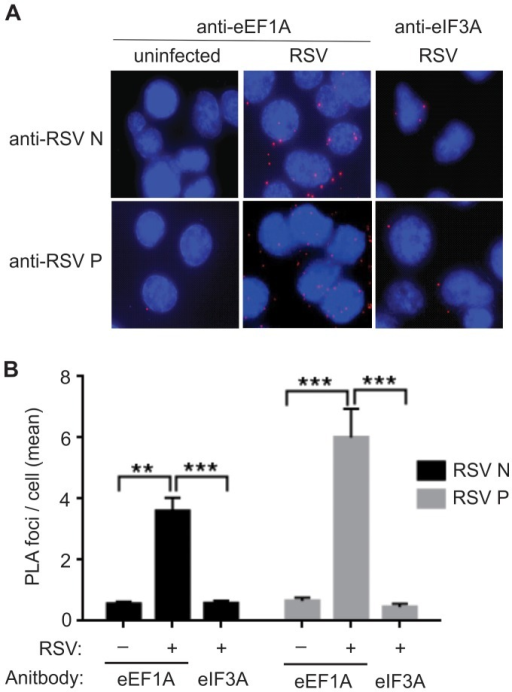 Nucleocapsid (N) and phosphoprotein (P) co-localise with host eEF1A in a live virus infection.A549 cells were infected with RSV at a MOI of 1 pfu/cell and fixed for proximity assay 24 h post-infection. Antibodies to eEF1A or eIF3A (negative control), and RSV N and P were used in conjunction with Duolink II PLA probes to detect significant proximity between RSV N, P and eEF1A, and no significant proximity between RSV N, P and eIF3A. (A) Images were captured on a confocal microscope and (B) the number of signals (foci) detected in 100 cells per reaction was quantified using the Duolink Imagetool software (Olink Biosciences). Data was collected by two readers and the mean number of signals/cell was then calculated. Experiments were repeated three times. Mean values, with SEM. Significance identified using 2-way ANOVA. **P<0.05, ***P<0.001.