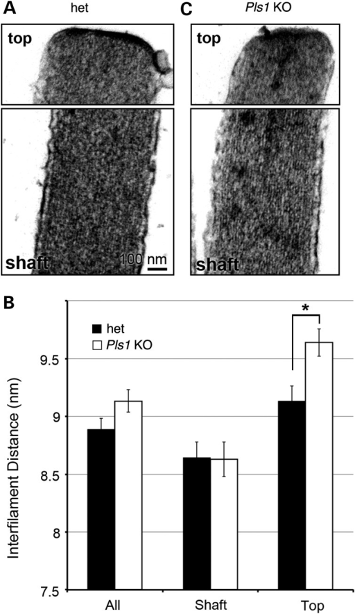 Organization of the actin filaments in the stereocilia of Pls1 KO mice. (A and B) Transmission electron micrographs of the top and shaft region of the IHC stereocilia in adult (4 month and older) het and Pls1 KO mice. (C) Mean values of the interfilament distance within the stereocilia of het and Pls1 KO mice. Mean values are shown for all measurements, and those obtained from either the shaft or the top region (within 300 nm of the tip) only; 250 measurements were taken from 5 different stereocilia for each genotype; error bars represent the standard error of the mean. The interfilament distance was significantly increased in the top region of stereocilia of Pls1 KO mice compared with het mice (P-value = 0.004; unpaired T-test with Welch's Correction).