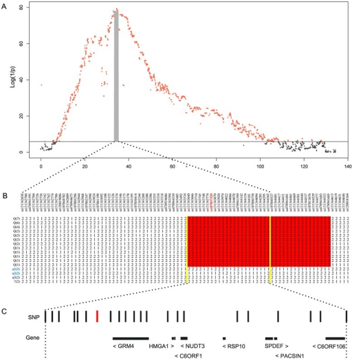 "Fine mapping of the major QTL for growth and fatness traits on SSC7 in the F2population. (A) Linkage disequilibrium and linkage analysis for average backfat thickness. In the Manhattan plots, negative log10P values of the filtered high-quality SNPs SNPs are plotted against their genomic positions on SSC7; SNPs surpassing the 5% genome-wide significance threshold are denoted in red; solid line indicates the 5% genome-wide Bonferroni-corrected threshold; the 95% confidence interval (CI) defined by the LOD-dropoff-2 method is indicated by a gray shaded block. (B) Haplotype analysis for a 3.2-Mb region encompassing the 95% CI of the SSC7 locus in 17 F0 sows and 2 F0 boars. The allele with the higher frequency is denoted as 2, and the allele with the lower frequency is denoted as 1; the number of each haplotype in the 19 founder animals is given in the bracket; a total of 30 Q-bearing chromosomes corresponding to 12 haplotypes were derived from Erhualian founder sows, which shared a ~1.7-Mb segment, from ss131343640 to ss478941605; the shared 1.7-Mb segment containing the top SNP (ss107837325) is highlighted in red; six q-bearing chromosomes corresponding to three haplotypes were derived from two White Duroc F0 boars (individuals 73 and 75, q1 and q2) and two Erhualian F0 sows (individuals 124 and 126, q3). One haplotype, originating from Erhualian F0 individuals 142 and 146, is indicated by the symbol ""?""; this haplotype is most likely a q-type haplotype; the ~750-kb region of overlap between the 95% CI and the Q-chromosome-containing segment is indicated by two vertical yellow lines. (C) The 22 informative SNPs and eight annotated genes in the 750-kb critical region. The top SNP (ss107837325) is marked in red."