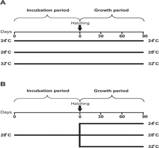 General schedule of the protocols applied in the two experiments performed.In Experiment 1 (A) Neocaridina heteropoda heteropoda juveniles grew at the same temperature at which they were incubated as embryos (24, 28 or 32°C), while in Experiment 2 (B) embryos were incubated at 28°C, but juveniles grew either at 24, 28 or 32°C. The duration of the Incubation period varied according to temperature, while the duration of the Growth period was 90 days. Day 0 of the Incubation period was the spawning day.