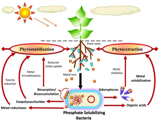 heavy metal stress in plants Plants possess a range of potential cellular mechanisms that may be involved in the detoxification of heavy metals and thus tolerance to metal stress.