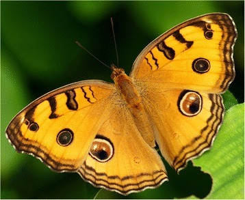 Photograph of a baskingJunonia almana, from which the models were derived.