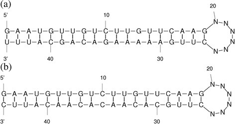 Hybridized structure of mature miRNA with its targets. The mature miRNA forms the 5′ end and the target is at the 3′ end separated by 6 nucleotides. The pvu-miR166d with its two targets: (a) EST 312062389 coding for UDP-N-acetylglucosamine pyrophosphorylase protein regulated by cleavage, (b) EST 312035414 coding for SNF1-related protein kinase regulatory subunit inhibited by translational regulation