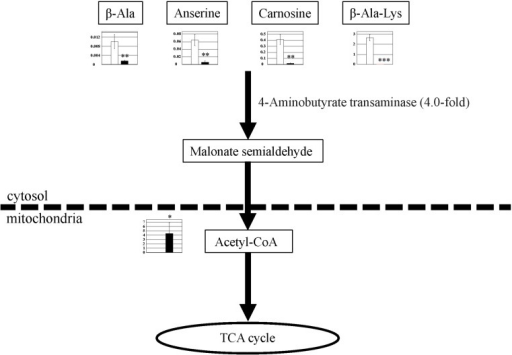 Observed metabolite changes mapped onto the pathways associated with β-alanine metabolism.Changes in the metabolite levels in the skeletal muscle of PGC-1α-Tg mice and WT mice are shown. Relative metabolite changes shown in the graphs were obtained by CE-TOFMS (S1 Table). Open bars, WT and filled bars, PGC-1α-Tg (N = 3). Data are expressed as the mean ± SD. Asterisks indicate statistically significant differences (***p < 0.001, **p < 0.01, *p < 0.05). Microarray data of gene expression change of enzymes and transporter in the related metabolic process are shown in the scheme.