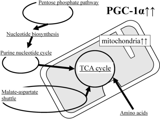 Schematic representation of metabolic pathway changes in PGC-1α-Tg mice.The levels of many metabolic products are changed in the skeletal muscle of PGC-1α-Tg mice. Many of these changes are associated with mitochondrial metabolism, in particular the TCA cycle. Increased mitochondrial content due to PGC-1α-overexpression appears to activate the TCA cycle (Fig 3); therefore, there must be more substrates available for the TCA cycle. For instance, the activated pentose phosphate pathway (Fig 4) stimulates nucleotide synthesis (Fig 5), which is followed by activation of the purine nucleotide cycle (Fig 6), supplying fumarate for the TCA cycle. Meanwhile, activation of the malate-aspartate shuttle supplies other substrates (Fig 7). In addition, amino acids are also likely to be used as substrates (Figs 7, 8 and 9). Increased coordinated regulation of the TCA cycle and amino acid metabolism, including BCAA, suggests that PGC-1α plays important roles in energy metabolism. Moreover, activation of the purine nucleotide pathway and malate–aspartate shuttle, which are known to be active during exercise, further suggests that PGC-1α regulates metabolism in exercise.