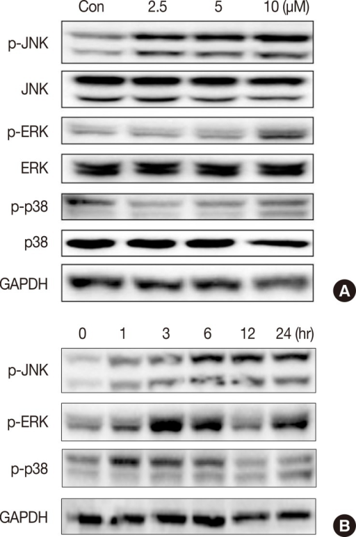 Effect of isocryptotanshinone (ICTS) on the mitogen activated protein kinases signaling. (A) MCF-7 cells were treated with indicated concentrations of ICTS for 24 hours, and the expressions of total and phosphorylated JNK, ERK, p38 were detected by Western blot. Glycer-aldehyde 3-phosphate dehydrogenase (GAPDH) was used as internal control. (B) Cells were treated with ICTS for 0, 1, 3, 6, 12, and 24 hours, respectively, the expressions of p-JNK, p-ERK, and p-p38 were detected by Western blot. GAPDH was used as internal control.