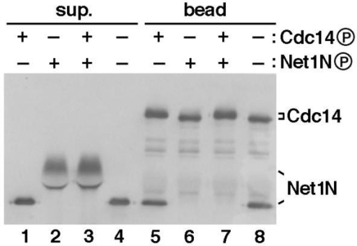Plx1 abolishes the Cdc14-binding activity of Net1N. Combinations of Plx1-phosphorylated or unphosphorylated Net1N and Cdc14 were tested for their abilities to form protein complexes. All four reactions consisted of identical components and permutations of four steps (1. addition of GST-Cdc14 beads; 2. incubation with Plx1 for 45 min at room temperature; 3. depletion of ATP at room temperature for 20 min; and 4. addition of Net1N). The ATP depletion step ensured that only the component(s) present with Plx1 prior to ATP depletion would be phosphorylated. Thus, Lanes 1 and 5 resulted from 1 -> 2 -> 3 -> 4; Lanes 2 and 6 resulted from 4 -> 2 -> 3 -> 1; Lanes 3 and 7 resulted from 1 -> 4 -> 2 -> 3; and Lanes 4 and 8 resulted from 1 -> 4 -> 3 -> 2. Whether Cdc14 or Net1 was phosphorylated by Plx1 in the presence of ATP (+) or unphosphorylated because of depletion of ATP (-), was indicated above each lane. All reactions were terminated by a final binding reaction at 4°C for 1 hr, and proteins in the supernatant (sup.) and bead fractions were separated by SDS-PAGE and immunoblotted with anti-T7 antibodies to detect both GST-T7-Cdc14 and His6-T7-Net1N.
