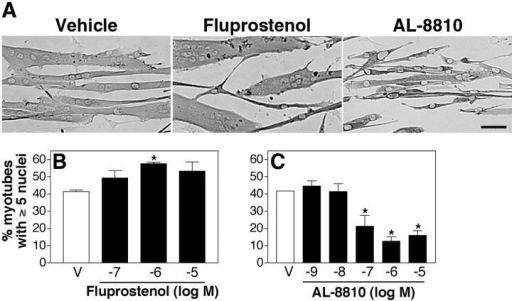 PGF2α-mediated muscle growth occurs through the FP receptor. (A) Primary myoblasts were induced to differentiate in the presence of vehicle, 10−6 M fluprostenol, or 10−6 M AL-8810 and immunostained for EMyHC after 48 h. Bar, 60 μm. (B) Cells were treated with the indicated doses of fluprostenol for 48 h and analyzed as in Fig. 1 E. (C) After 24 h in DM, cells were treated with indicated doses of AL-8810 for 24 h and analyzed as in Fig. 1 E. Data are mean ± SEM of three independent experiments. *Significantly different from vehicle, P < 0.05.