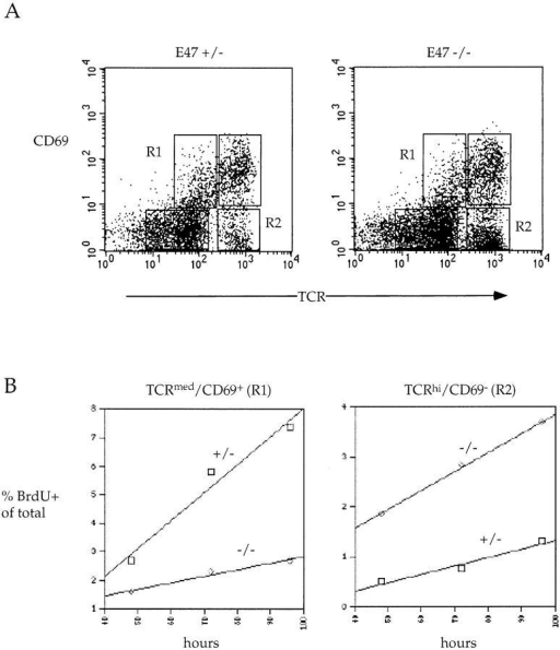 Increased rate of appearance of mature thymocytes in mice deficient for E47. Mice were continuously exposed to the thymidine analogue BrdU in their drinking water for the indicated times and then analyzed for BrdU content and TCR-α/β and CD69 surface expression. (A) Representative TCR-α/β/CD69 FACS® plots for E47-deficient and heterozygous mice. (B) Rate of appearance of BrdU-labeled TCRmed CD69+ cells (left) and TCRhiCD69− cells (right). The percent BrdU-labeled cells of total cells is plotted against the time of continuous exposure to BrdU. The gates used to define the TCRmedCD69+ cells and TCRhiCD69− cells are shown in A as R1 and R2, respectively. The numbers plotted are the averages from two mice.