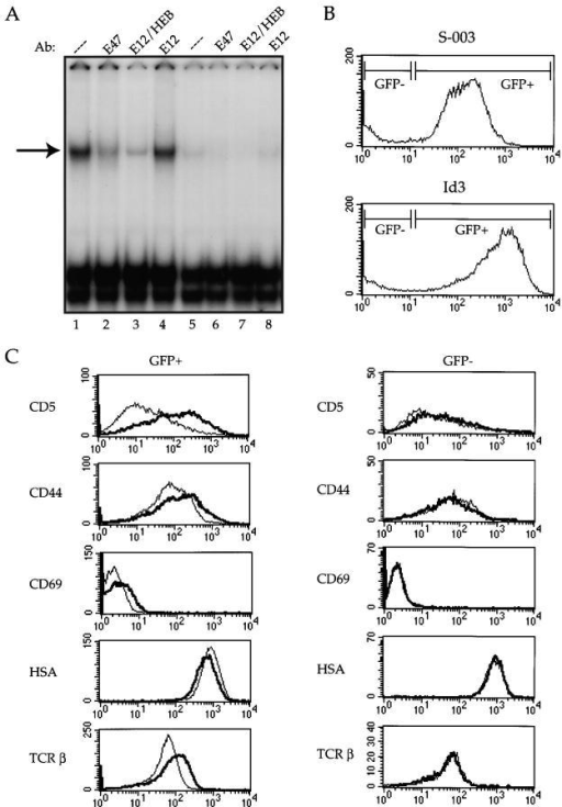 Inhibition of E47 activity in a DP T cell line promotes differentiation. The 16610D9 DP T cell line was retrovirally infected with Id3 or control (S-003) virus. 48 h after infection, the cells were harvested and WCE was prepared as described from half of the cells while the remainder of the cells was stained with the indicated antibodies and analyzed by flow cytometry. (A) E2A binding activity was analyzed by electrophoretic mobility shift assay using a labeled μE5 oligo probe. Lanes 1–4, S-003–infected cells; lanes 5–8, Id3-infected cells. Extracts were preincubated with mAbs (Ab) against E47 (lanes 2 and 6), E12/HEB (lanes 3 and 7), or E12 (lanes 4 and 8) before the addition of the probe. The arrow at left indicates the E47-containing complex. (B) EGFP expression on the S-003 (top) and Id3 (bottom) infected cells. The gates used to define the GFP+ and GFP− populations are indicated in the histograms. (C) Infected cells were stained with the indicated antibodies and analyzed by flow cytometry. The left panels show staining patterns on the GFP+ cells, and the right panels show staining patterns on the GFP− cells within the same infection. Thin line indicates staining on the S-003–infected cells, and thick line indicates staining on the Id3-infected cells. (D) CD4/CD8 staining on GFP+ (top panels) and GFP− (bottom panels) from control (S-003) and Id3-infected cells. The percentage of CD4/CD8 DP cells (boxed area) is indicated in each plot.