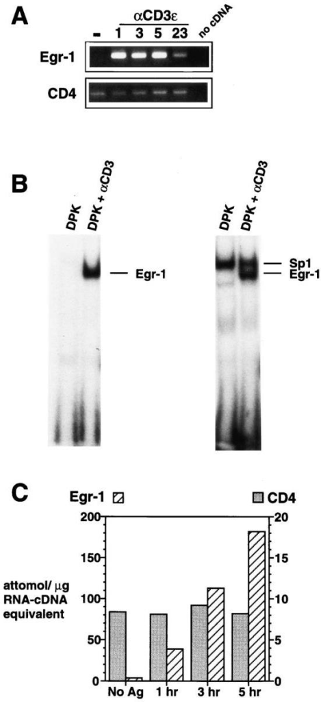 The Egr-1 gene is rapidly induced after TCR-mediated activation of the DPK double positive cell line. (A) Total RNA isolated from  DPK cells cultured with immobilized anti-CD3ε mAb for the indicated  times (shown in hours), was subjected to RT-PCR analysis using Egr-1  or CD4 primers. (B) Electrophoretic mobility shift assay using nuclear lysates prepared from DPK cells 8 h after activation by immobilized antiCD3ε mAb. Probes contained a single Egr-1 binding site (left) or overlapping Egr-1 and Sp1 sites (right). (C) DPK cells were cultured with  DCEK-ICAM fibroblast antigen presenting cells and 1 μm pigeon cytochrome c peptide for the indicated times. Total RNA was isolated and  subjected to a competitive RT-PCR assay (see Materials and Methods).  Note the different scales for Egr-1 and CD4 mRNA expression.
