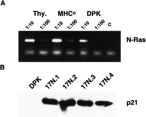 Expression of a dominant negative mutant of p21ras blocks  DPK cell differentiation. (A) RT-PCR assay of N-ras expression in DPK  cells or thymocytes derived from wild-type or MHC-deficient mice. (B)  Cell lysates from DPK cells and four independent lines that express Ha-ras  N17 were analyzed by Western blot and probed with anti-ras antibody.  Endogenous p21ras is not visible in this exposure. (C) DPK or 17N4 cells  were cultured with DCEK-ICAM fibroblast antigen presenting cells in the  presence (bold lines) or absence (thin lines) of 2 μM pigeon cytochrome c  peptide. After 3 d of culture, cells were collected, stained with mAb to  CD69 and analyzed by flow cytometry. (D) DPK or 17N4 cells were cultured as in (C) except that cells were harvested on day 1 or 3 as indicated  and stained with anti-CD4 and anti-CD8 mAbs. Shown are the percentages of CD4+8lo/- DPK cells in the designated regions.