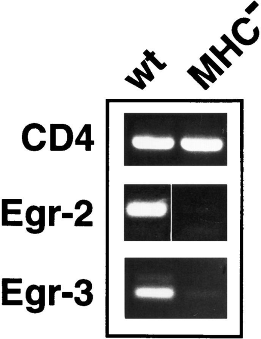Expression of Egr-2  and Egr-3 mRNA in thymocytes  is MHC dependent. Total RNA  prepared from freshly isolated  wild-type or MHC knockout  thymocytes was subjected to  RT-PCR analysis using CD4,  Egr-2 (Krox-20), or Egr-3 primers as indicated.
