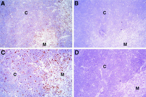Expression of Egr-1 protein in the thymus. Thin sections of normal thymus (A–C) or MHC knockout thymus (D) were fixed in formaldehyde and stained with a specific rabbit anti-Egr-1 peptide antiserum (A, C, D) or the same antibody preincubated with specific peptide (B). Regions of  cortex (C) and medulla (M) are indicated. Sections were counterstained with hematoxylin and photographed at ×20 (A, B) or ×40 (C, D). C shows a  magnification of the same section photographed in A.