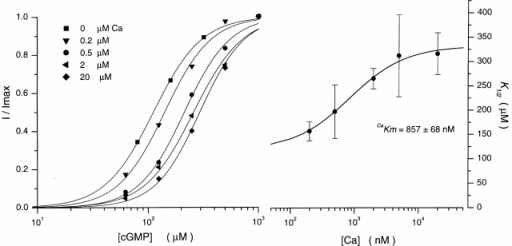 cGMP dependence of cone outer segment current as a function of cytoplasmic Ca2+. (Left) The dependence of normalized current amplitude on cGMP in the presence of various Ca2+ concentrations, as labeled. Each data set was measured in a different ep-cone. The continuous line is the Hill equation that best fits the experimental data. At 0 μM Ca2+, K1/2 = 112 μM and n = 2.0; at 0.2 μM Ca2+, K1/2 = 141.5 μM and n = 2.1; at 0.5 μM Ca2+, K1/2 = 214 μM and n = 2.1; at 2 μM Ca2+, K1/2 = 259.8 and n = 1.98; and at 20 μM Ca2+, K1/2 = 331 μM and n = 2.15. (Right) The dependence of the K1/2 value of the Hill equation on Ca2+. The data points are the average (±SD) of measurements in different ep-cones. Complete statistical information is given in Table . The continuous line is a modified Michaelis-Menten function () that best fits the experimental data. The value of CaKm is given in the figure.