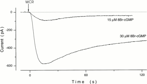 Rate of equilibration between cone outer segment cytoplasm and lumen of tight-seal electrode. Shown are whole-cell membrane currents measured in two different cones at −35-mV holding voltage. At the arrow mark (WCR) (time = 0), whole-cell mode was attained and the contents of the cell cytoplasm began to exchange with the solution filling the tight-seal electrode. This solution contained either 15 or 30 μM 8Br-cGMP, as labeled, and 1 mM diazo-2, 1 mM free Mg2+, and 600 nM free Ca2+ (see text for details). As the cyclic nucleotide loaded the cell, CNG channels in the outer segment were activated and an inward current developed. The current reached a stationary value after ∼2 min, indicating concentration equilibrium between cell cytoplasm and the electrode lumen.