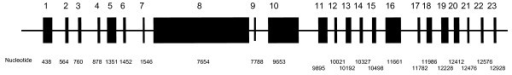 Normal ALMS1 gene structure*. * Figure 2 is not drawn to scale.