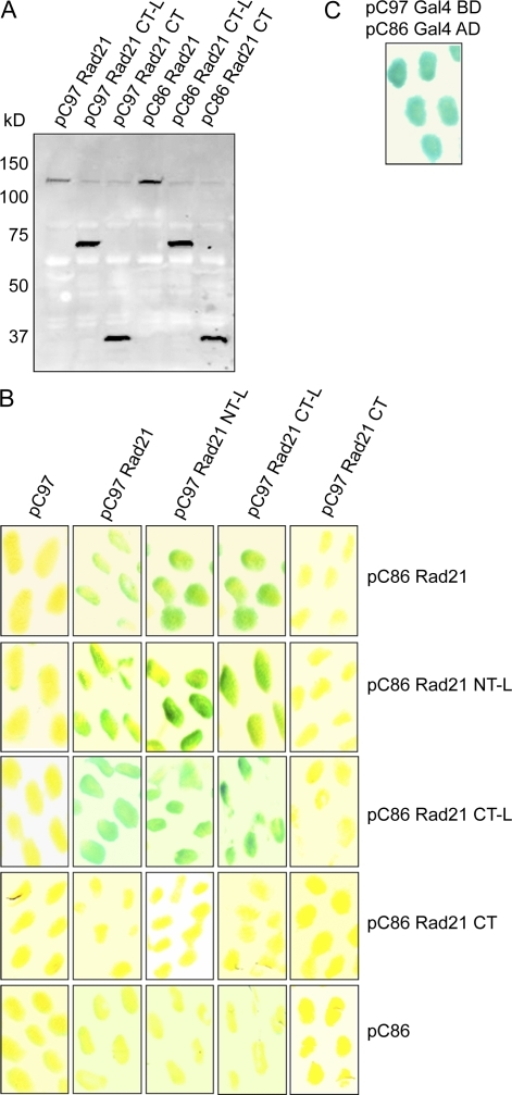 Rad21–Rad21 interaction determined by yeast two-hybrid assay. (A) Expression of Rad21 wild type (1–631 aa), CT-L (254–631 aa), and CT (451–631 aa) in yeast was analyzed with WBs using Rad21 CT–specific pAb. (B) A LacZ reporter assay was used to probe the Rad21–Rad21 interaction. Yeast cells cotransfected with pC97 and pC86 empty vector is shown as the negative control. (C) pC97 GAL4BD and pC86 GAL4AD were used as the positive control. Positive protein–protein interaction is shown in blue in th LacZ reporter assay.
