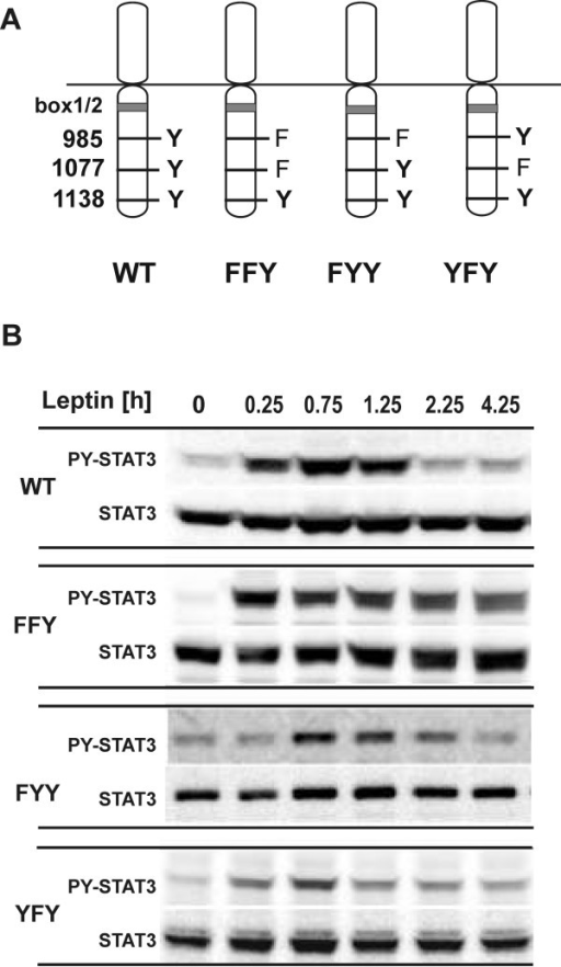 Time course of STAT3 activation by LEPRb tyrosine/phenylalanine mutants. A, Schematic representation of the LEPRb point mutants used in this study. The membrane-proximal box1/2 region binds the JAK family kinase and Tyr1138 (box3) mediates the activation of STAT3. B, RINm5F cells expressing WT or mutant LEPRb (FFY, FYY, YFY) were treated with leptin (20 ng/ml) for the times indicated (0 min, 15 min, 45 min, 75 min, 135 min, 255 min). Total cellular lysates were subjected to Western blot analysis and immunodetection with the indicated antibodies. These results are representative of 2 (YFY) or at least 3 (WT, FFY, FYY) independent experiments.